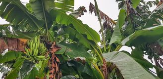 En grupp av gröna bananer på trädet - jordbruk i Afrika royaltyfri bild