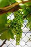 En grupp av gröna druvor Royaltyfri Fotografi