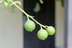 En grupp av 3 gröna limefrukter Royaltyfri Fotografi