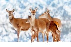 En grupp av härliga kvinnliga hjortar i bakgrunden av elaphus för Cervus för hjortar för skog för snöig vit en nobel Royaltyfria Foton