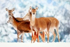 En grupp av härliga kvinnliga hjortar i bakgrunden av elaphus för Cervus för hjortar för skog för snöig vit en nobel Arkivbild