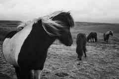 En grupp av härliga lösa ponnyer i ett fält arkivfoton
