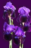En grupp av härligt djupt - purpurfärgade iriers på den violetta bakgrunden arkivbilder