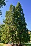 En grupp av högväxta träd av idegransträt fotografering för bildbyråer