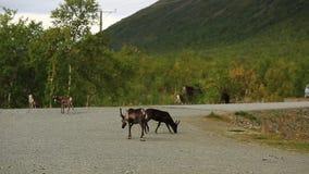 En grupp av hjortanseende nära vägen stock video