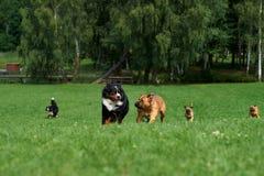 En grupp av hundkapplöpning är tävlings- royaltyfria foton