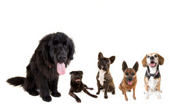 En grupp av hundkapplöpning Fotografering för Bildbyråer
