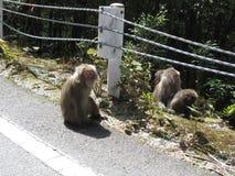 En grupp av japanska macaques Royaltyfri Bild