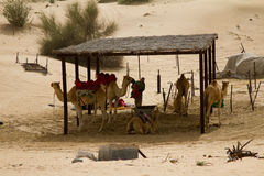 En grupp av kamel och en förlagehanterareman bredvid en safari campar i Dubai, UAE Royaltyfri Fotografi