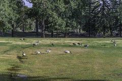 En grupp av kanadensiska gooses som står i ön för prins` s, parkerar Arkivfoto
