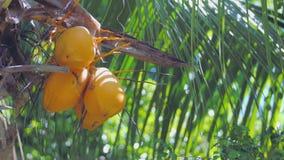 En grupp av kokosnötter på en palmträd arkivfilmer