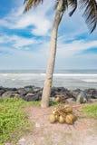 En grupp av kokosnötter på jordningen Fotografering för Bildbyråer