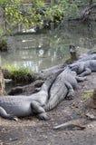Krokodiler near damm Royaltyfri Foto