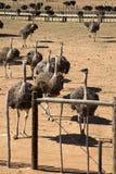 Kvinnliga Ostriches Royaltyfri Foto