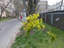En grupp av liten guling blommar på en trädfilial Royaltyfri Fotografi