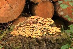 En grupp av ljust, guling-apelsin champinjoner på ett träd med grön mossa arkivbilder