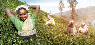 En grupp av lyckliga teplockare som skördar begrepp royaltyfri fotografi