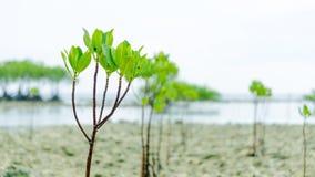 En grupp av mangroven kärnar ur växten på stranden royaltyfria foton