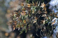 En grupp av monarkbutterflys Mexico Valle de Bravo Arkivfoto