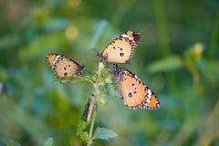 En grupp av monarkfjärilar som tillsammans sitter på växten royaltyfri foto