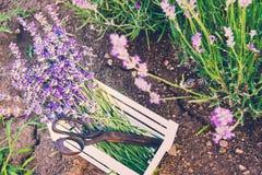 En grupp av nytt klippta lavendelblommor och rostig gammal sax i en liten vit träspjällåda som läggas över jorden bland blomma Arkivbild