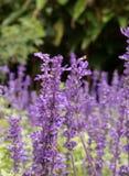 En grupp av purpurfärgade blommor Arkivbild