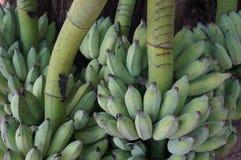En grupp av rå kultiverade bananer Royaltyfri Fotografi
