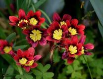 En grupp av röda, gula och svarta blommor Royaltyfri Foto