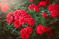 En grupp av röda trädgårds- rosor Arkivfoton