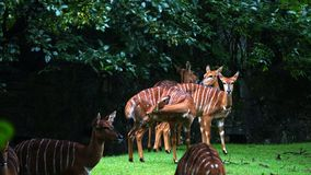 En grupp av randiga antilop kallade bongoen arkivfoto