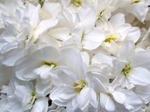 En grupp av rena vita blommor Arkivfoto