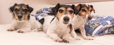 En grupp av rolig hundkappl?pning ?r ligga och sova i en s?ng Liten Jack Russell Terrier hund f?r tre royaltyfri fotografi