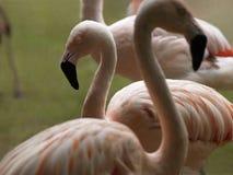 En grupp av rosa flamingo Royaltyfria Bilder