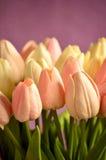 En grupp av rosa och vita tulpan Royaltyfri Bild