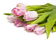 Rosa tulipes Royaltyfri Fotografi
