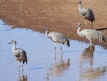 En grupp av Sandhill kranar på ett damm Arkivfoto