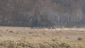 En grupp av sebror som kör längs den dammiga jordningen, och går därefter, att kliva stock video