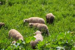 En grupp av sheeps som betar i en solig dag royaltyfria foton