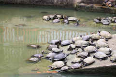 En grupp av sköldpaddor Arkivbilder