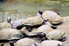 En grupp av sköldpaddor Royaltyfria Bilder