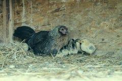 En grupp av små gulliga fågelungar går i hönshuset Stäng upp av färgrikt få gamla hönor för dagar med deras moder i en feg coop royaltyfria foton