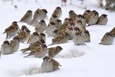 En grupp av sparrows Royaltyfri Fotografi