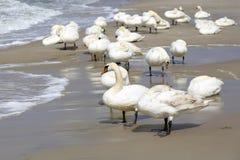 En grupp av svanar på stranden royaltyfri foto