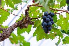 En grupp av svarta druvor för framställning av vin i Thailand Arkivfoto