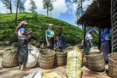 En grupp av teplockare väntar för att ha deras morgonskörd av sidor som vägs nära det Adams maximumet i Sri Lanka Royaltyfria Foton