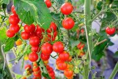 En grupp av tomaten som växer i jordbruks- organisk lantgård Arkivbild