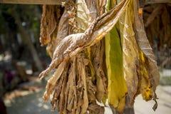 En grupp av torra tobak i Dhaka, manikganj, Bangladesh Royaltyfri Bild