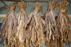 En grupp av torra tobak i Dhaka, manikganj, Bangladesh Royaltyfria Foton