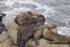 En grupp av trötta skyddsremsor som vilar på en havklippa Royaltyfri Bild