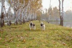 En grupp av tre mops, hundkapplöpning kör in mot kameran från ett avstånd, på grönt gräs, och höstsidor i parkerar royaltyfri bild